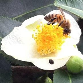 ミツバチ頑張ってますよ♪