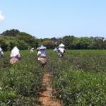 茶樹の健康か目先の利益か…