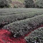 金萱茶の冬茶「摘採~日光萎凋」