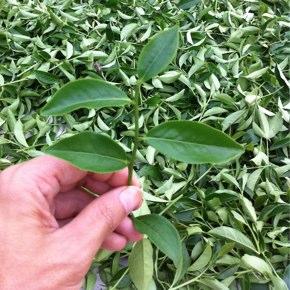 秋の茶は四季春から