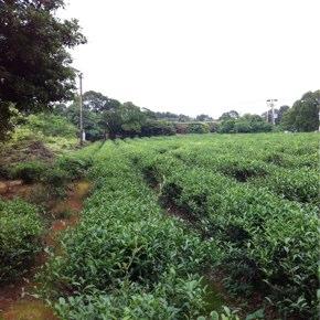 茶畑の再生と未来への希望