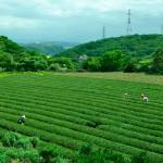 東方美人(台茶17号、白鷺)、本日茶摘みvs猛暑
