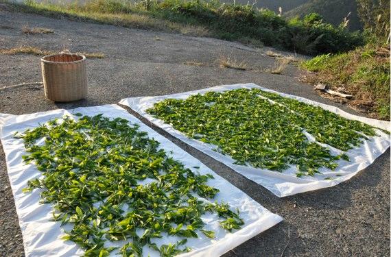 茶摘みした葉
