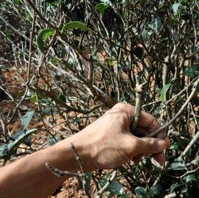茶畑の管理再生作業【其の五】