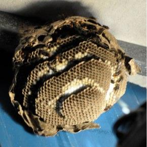 蜂の捕獲作戦 其の一
