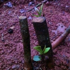 春に向けて茶樹が動き出しました