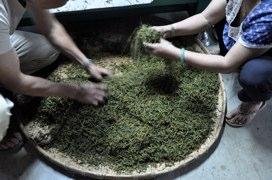 紅茶の製茶作業