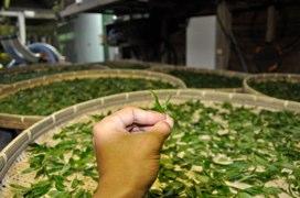 摘んだ生葉
