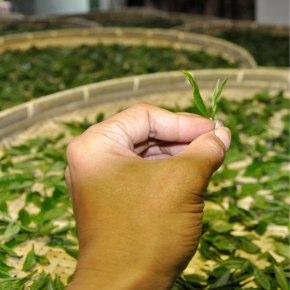 本山地区で紅茶試作