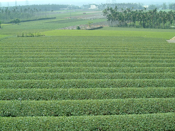 南投縣の茶畑