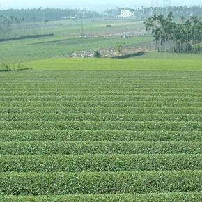 台湾茶ファンなら知っておきたい冬片に関する豆知識