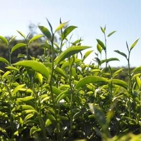 茶畑の管理再生作業