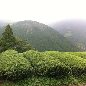 台湾における日本品種やぶきた