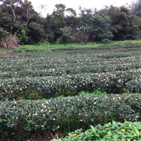 冬茶後の茶畑から見える今年の台湾茶