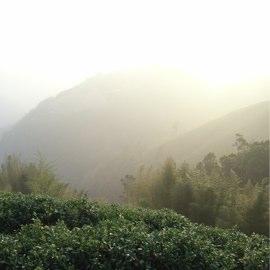 高山茶と高山気の区別