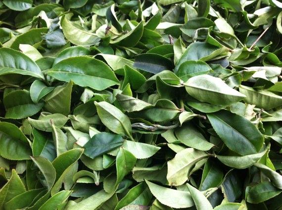 白鷺茶の萎凋