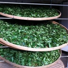 紅茶適性品種で烏龍を作ると何故!?