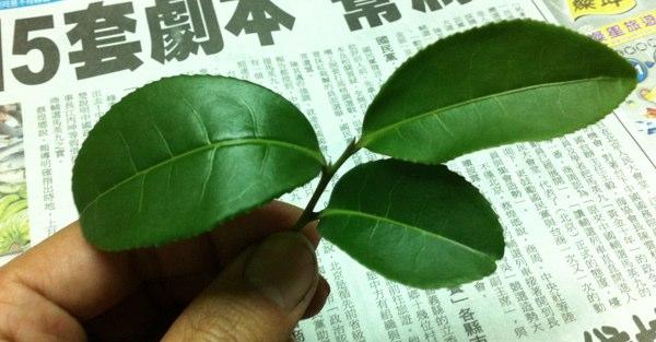 熟した生葉