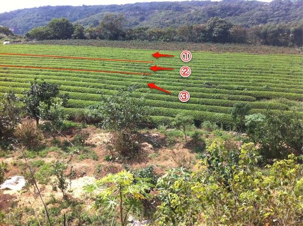 茶畑の管理による収穫量の違い