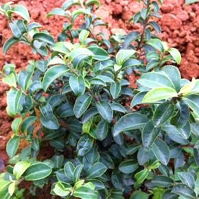 台湾茶新品種?自然交配のロマン…